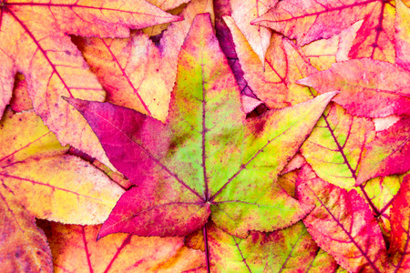 stack of colorful maple leaves in red green and yellow autumn colors