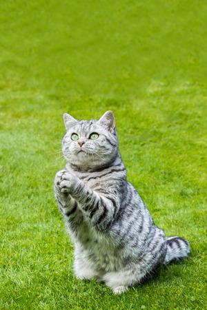 Praying british shorthair black silver tabby cat sitting on green grass Standard-Bild