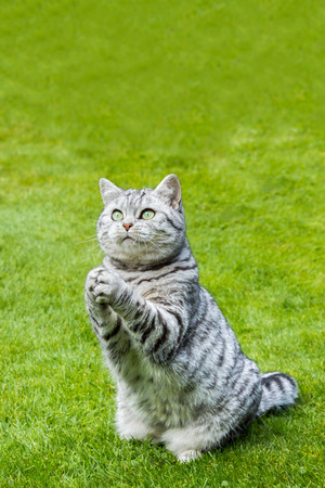 Praying british shorthair black silver tabby cat sitting on green grass Foto de archivo