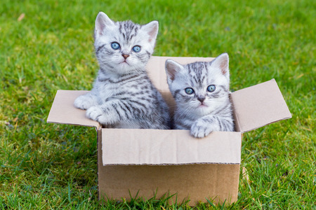 british shorthair: Young british shorthair black silver tabby cats in cartboard box on grass Stock Photo