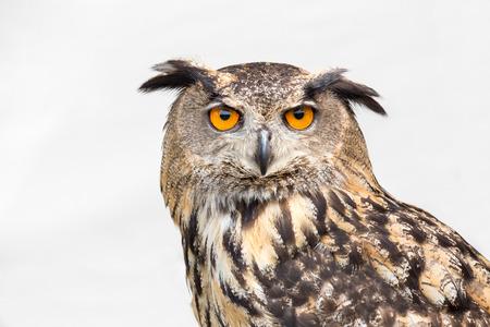 Portrait of eagle owl with orange eyes isolated on white background Foto de archivo