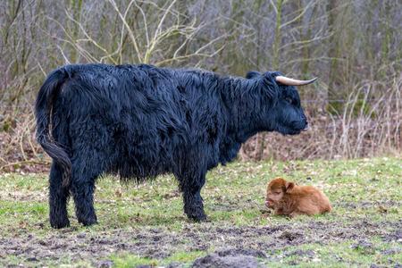 highlander: Madre Negro vaca monta��s escoc�s con la mentira becerro marr�n en una pradera de primavera