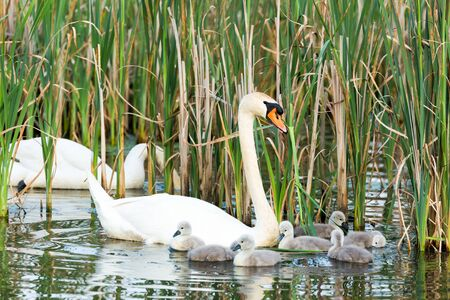 youngs: Couple white swans with young cygnets swimming on water with reed