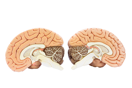 people human mind: Cross section of two artificial human hemispheres, two halves of brain for education, isolated on white background