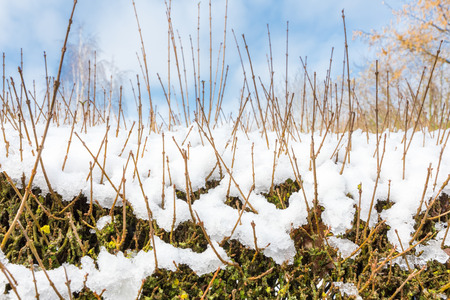 icy conditions: Tall branches of ligustrum in cover of snow during winter season