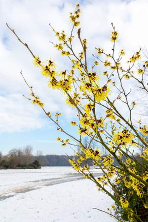 mollis: Hamamelis mollis yellow flowers in snow landscape during winter season