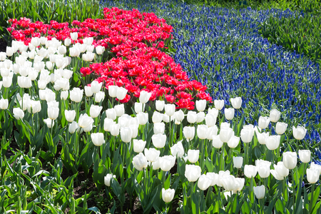 tulips field: Tulips field in red and white with blue grape hyacinths