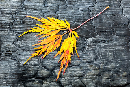 degradable: Burnt black wood with yellow autumn leaf