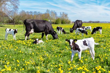 vaca: Pradera llena de dientes de león con el pasto de vacas y terneros recién nacidos en la temporada de primavera