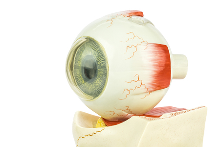 artificial model: Artificial model of human eye for education in high school isolated on white background Stock Photo
