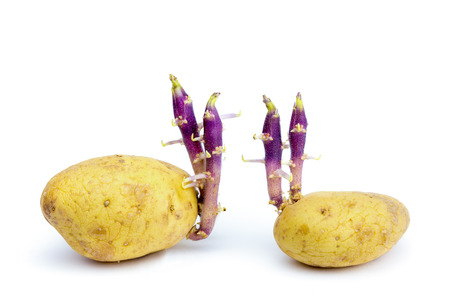 developement: Two potatoes with hairy stems isolated on white background