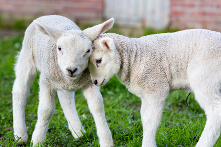 lambing: Two hugging and loving white lambs heads together in spring season