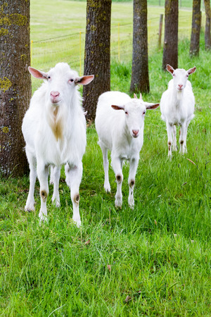 domestication: White goats on green grass with tree trunks in nature