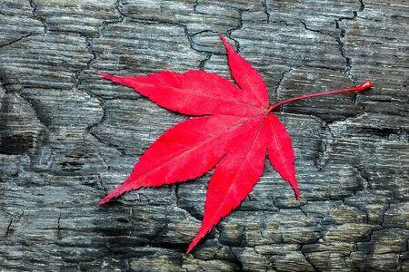 burnt wood: Red autumn maple leave on black burnt wood