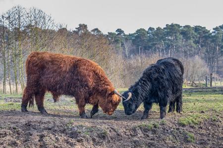 highlander: Toro de la lucha monta��s scottisch negro y marr�n y vaca en temporada de primavera