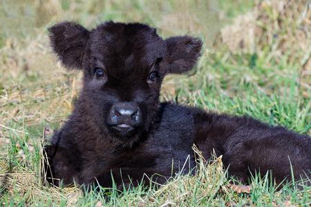 highlander: Retrato de reci�n nacido negro escoc�s pantorrilla monta��s tumbado en la hierba en la temporada de primavera Foto de archivo