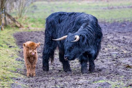 highlander: Madre Negro vaca escocesa del monta��s de pie cerca de toro reci�n nacido becerro marr�n en la temporada de primavera