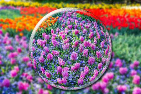 flowers field: Glass ball with pink hyacinths and flowers field