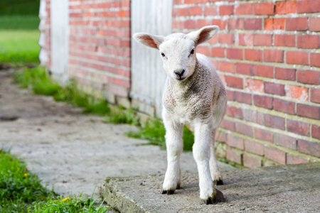 lambing: Lamb stands near brick wall in spring season looking at camera