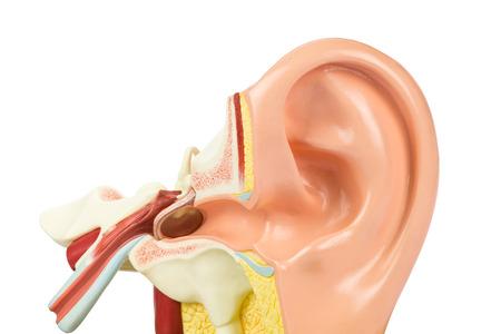 Künstliche menschliche Ohr-Modell isoliert auf weißem Hintergrund Standard-Bild - 42355299
