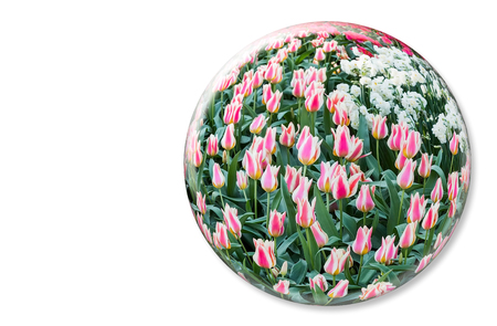 red and white: Crystal ball with red white tulips in Keukenhof Holland on white background Stock Photo
