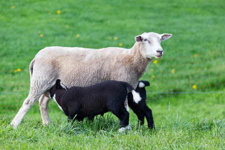 nursing sister: White mother sheep with two drinking black lambs in green meadow
