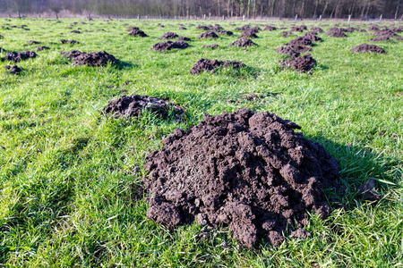 Many molehills as damage in green agricultural meadow on sunny day