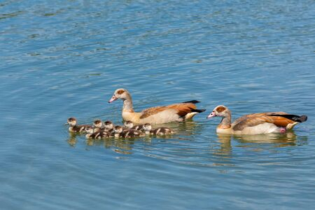 youngs: father and mother nile goose swimming on water with many newborn young