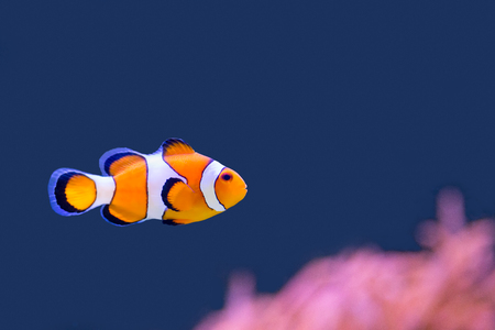 pink anemonefish: Nemo swimming in blue water with pink anemone Stock Photo