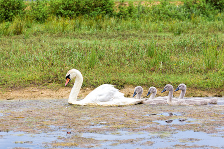 youngs: White mother swan swimming with young following Stock Photo