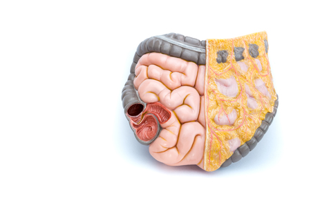 intestines: Model of human intestines
