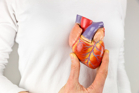 ventricles: Female hand showing heart model in front of body
