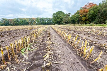 corn rows: Field with rows of corn stubbles after harvesting in autumn