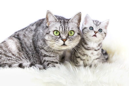 domestication: Mother british shorthair silver tabby cat sitting with young kitten isolated on white background Stock Photo