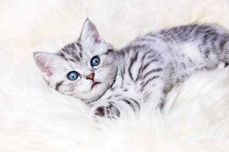 sheep skin: Young silver tabby spotted kitten lying lazy on sheep skin
