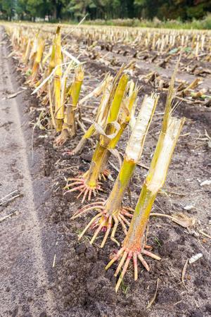 sandy soil: Row of  cut corn subbles on sandy soil