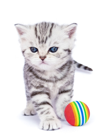 true bred: Young standing silver tabby cat with colorful ball Stock Photo