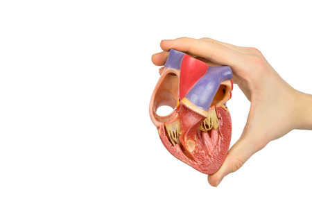 ventricles: Male hand holding plastic human heart showing interior isolated on white background