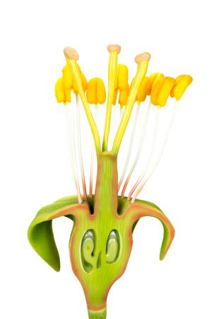 ovary: Secci�n longitudinal del modelo de flor con estambres y pistilos aislados sobre fondo blanco Foto de archivo
