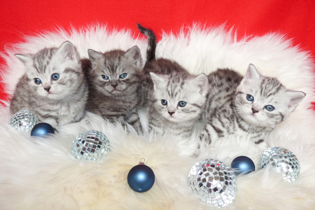 true bred: Row of young british short hair black silver tabby spotted kittens lying on sheep skin with christmas baubles Stock Photo