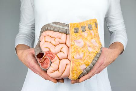 gordos: Mujer que sostiene el modelo de los intestinos humanos al frente del cuerpo en el fondo blanco Foto de archivo