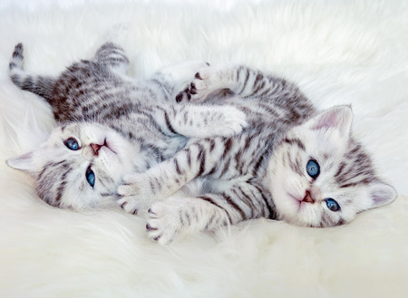 spotted fur: Two young british shorthair black silver tabby spotted kittens lying on sheep fur playing together Stock Photo