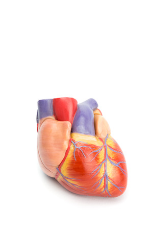 blood supply: plastic model of human heart isolated on white background