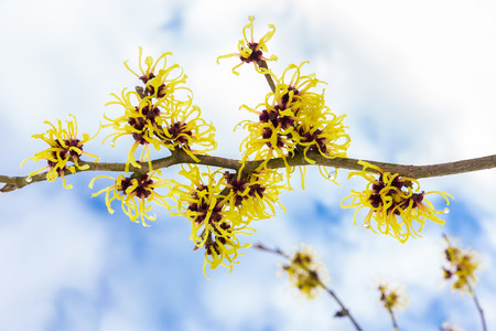 Hazel shrub or Hamamelis mollis with yellow flowers clouds and blue sky