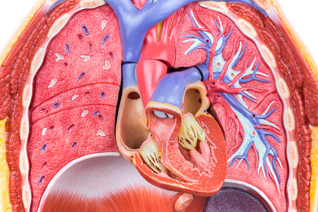 o2: Open artificial model human body with lungs and heart