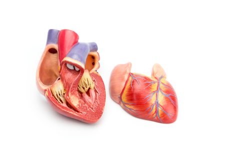 Open model of human heart showing internal construction isolated on white background