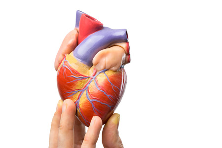 ventricles: Fingers showing model of human heart isolated on white background Stock Photo