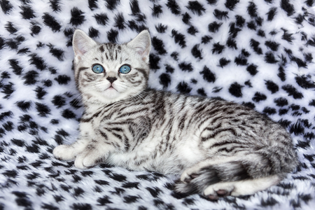 spotted fur: Youn black silver tabby spotted cat  lying on black and white fur