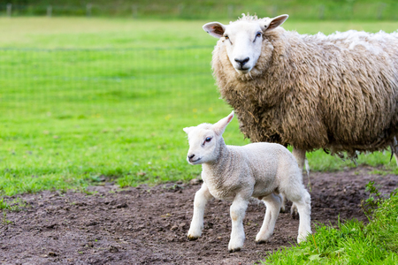 lambing: Mother sheep and newborn lamb in pasture during  springtime Stock Photo