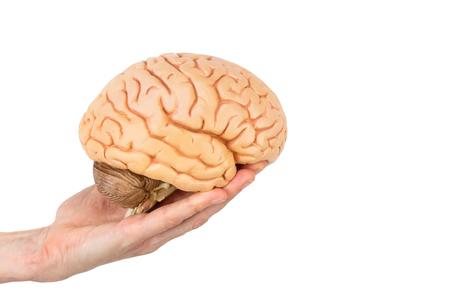 Female hand holding model human brains